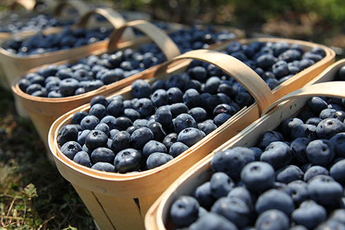 Blueberries (vaccinium corymbosum), in traditional wooden harvest baskets on a organic blueberry plantation.