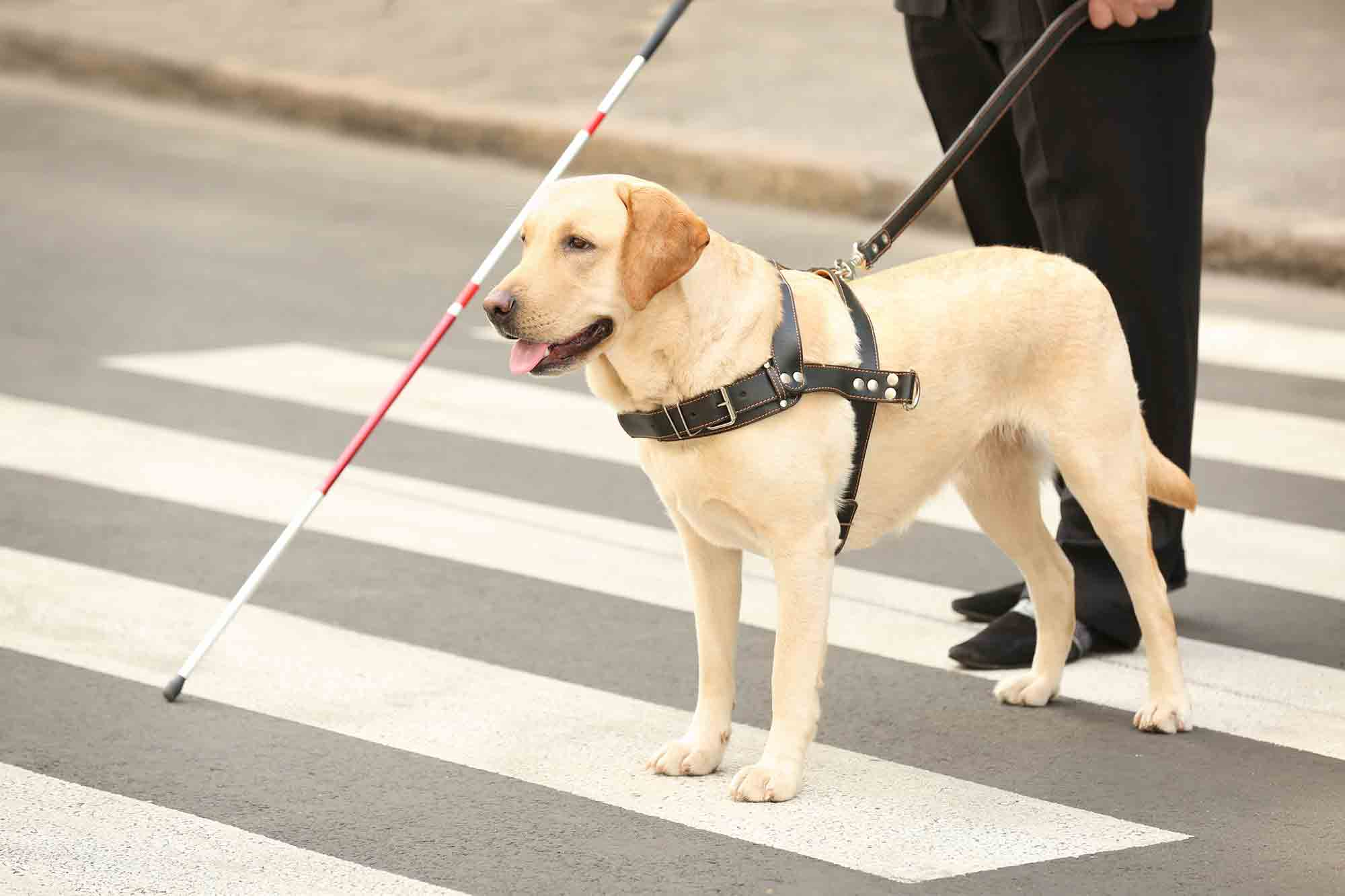 Guide dog blind person walking across the street service dogs