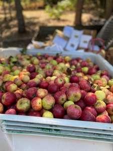 red apples in a white bin on farm